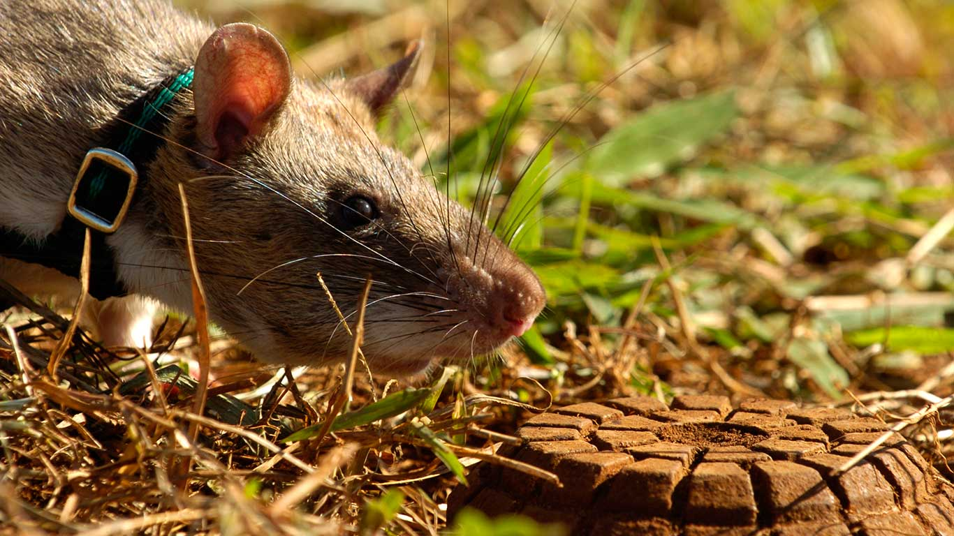 For 20 years APOPO's scent detection rats have been detecting landmines and tuberculosis.